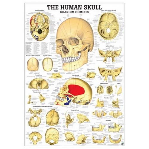 Poster menschliche Skelett 70x100