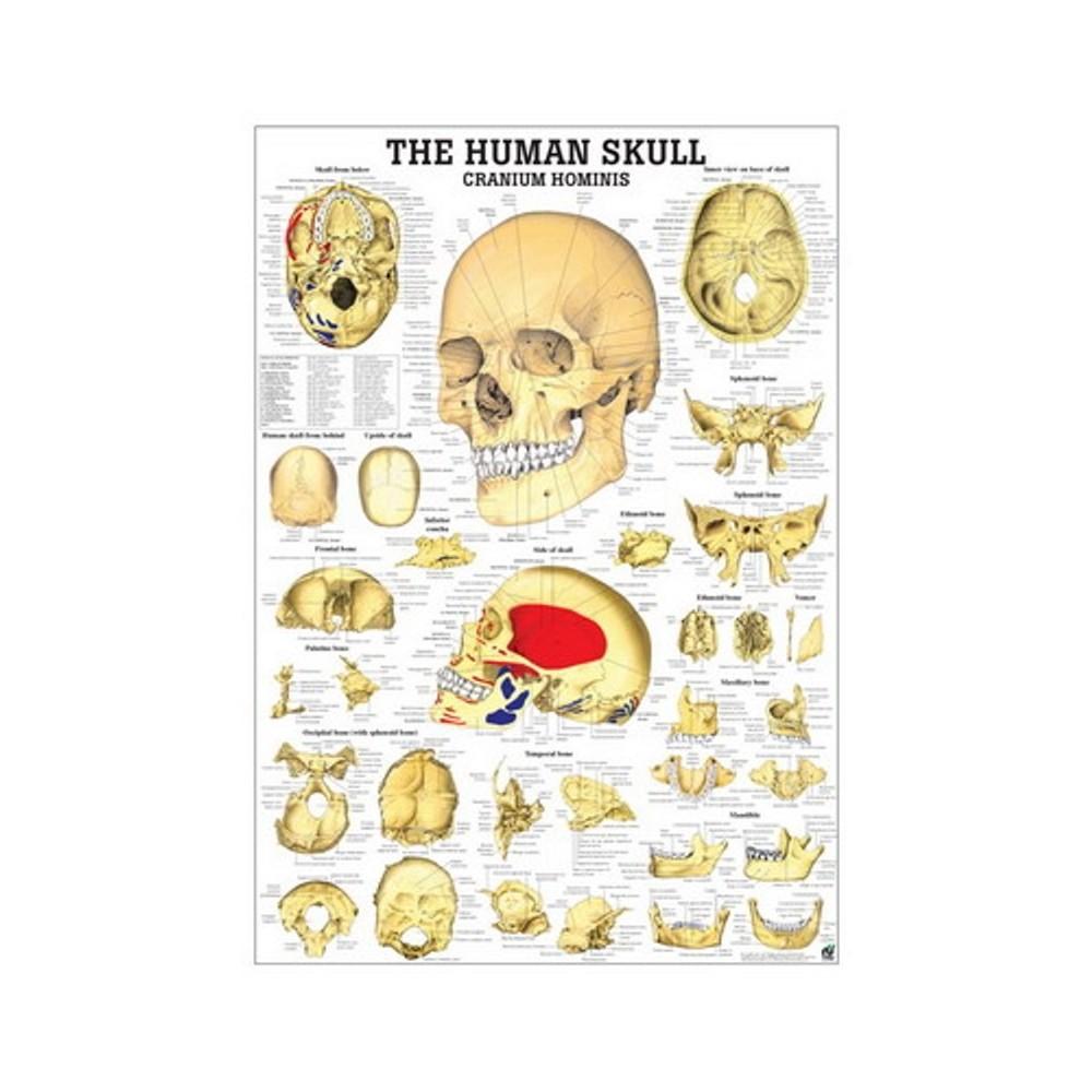 Cartel Esqueleto humano 70x100 cm