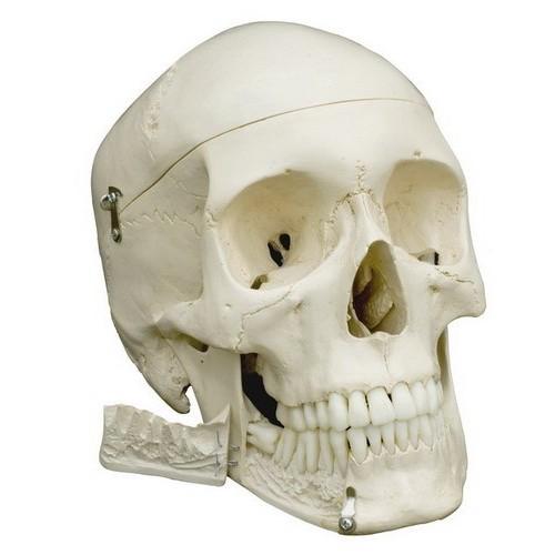 Le squelette du bassin de la femme, flexible