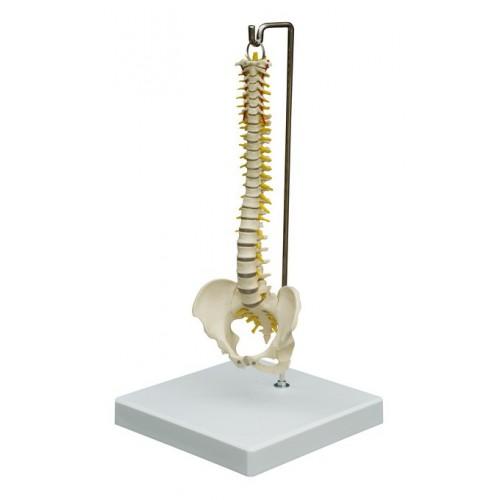 Una columna vertebral flexible