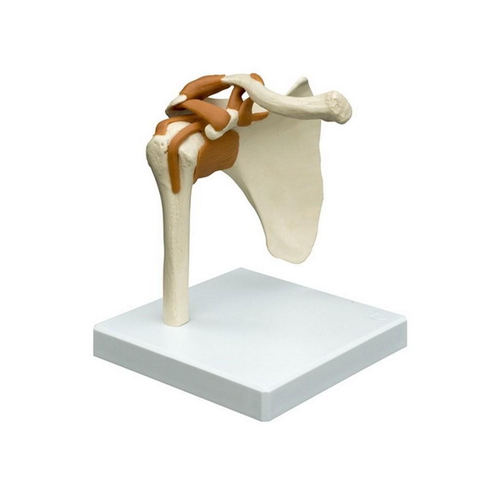 Scheletro del piede