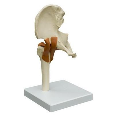 Articolazione della spalla