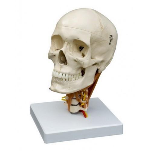 La articulación de la muñeca y el codo