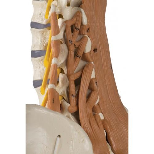 Le crâne avec les muscles du col de l'utérus