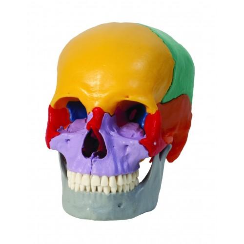 Cráneo de color, de 18 piezas