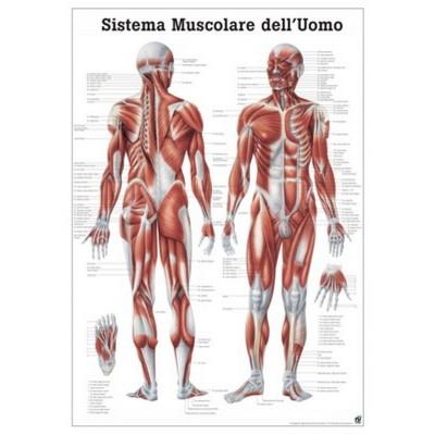 Affiche les MUSCLES 70x100