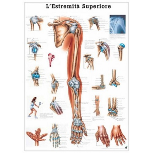 Affiche du Système musculaire 70x100