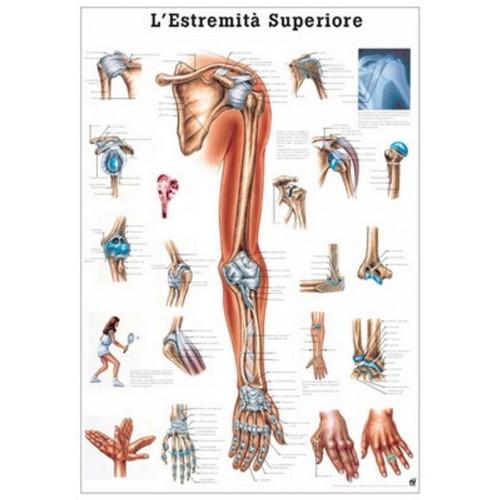 Cartel Sistema muscular 70x100 cm