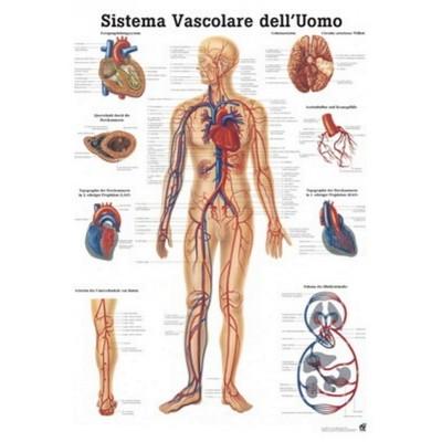 Poster lymphsystem 70x100