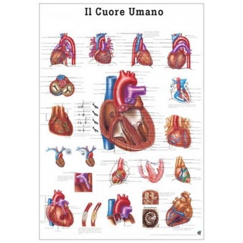 Cartel Sistema vascular 70x100 cm