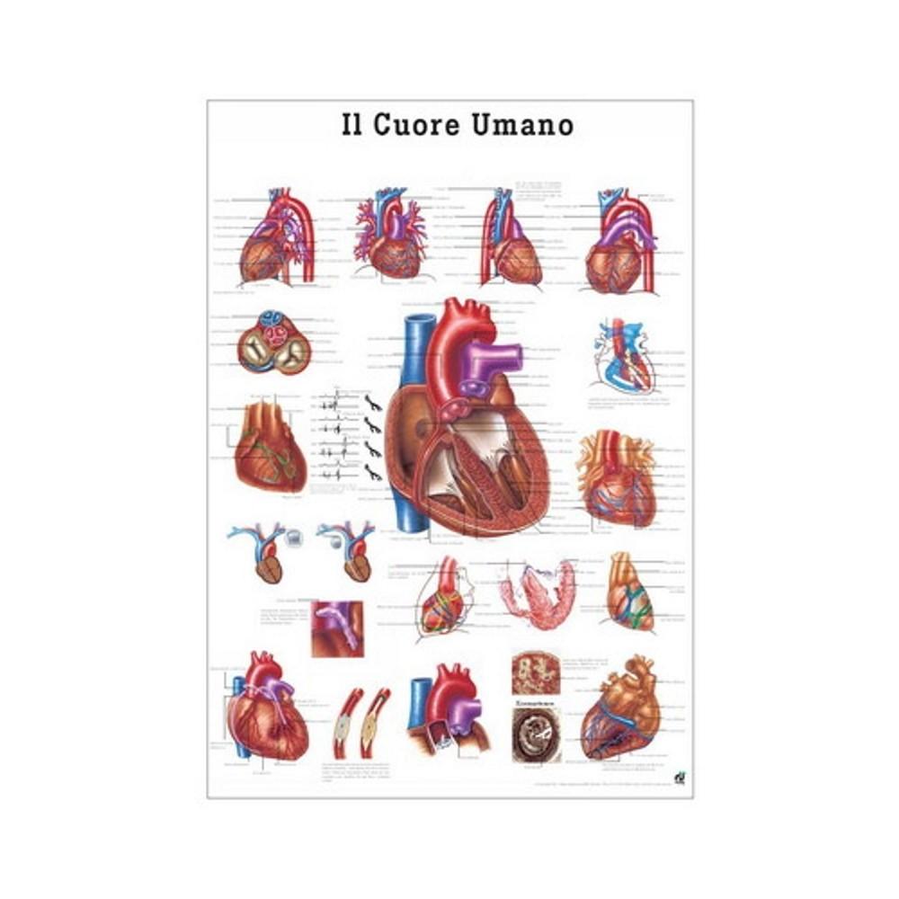 Poster Sistema vascolare 70x100
