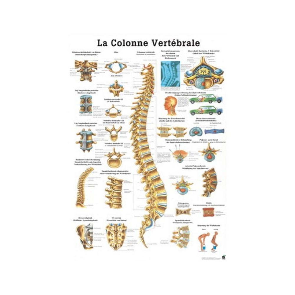 La colonna vertebrale 70x100