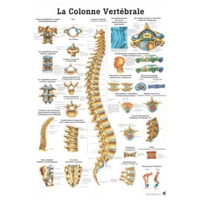 La colonne vertébrale 70x100